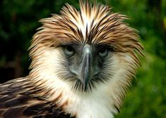 The Philippine Eagle (Pithecophaga Jefferyi) It is considered one of the largest and most powerful eagles in the world. Unfortunately, it is also one of the world's rarest and certainly among its most critical endangered vertebrate species. Philippine Eagle, Harpy Eagle, Bald Eagle, Eagle Bird, Birds Of Prey, Endangered Species, Bird Feathers, Beautiful Birds, Pet Birds