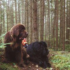 3ae8e3a6c1137a20d4b7bb84851857b3--dog-search-newfoundland-puppies.jpg (736×736)