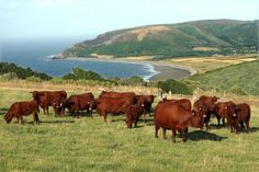 Pipers Farm Ruby Red Devon cattle