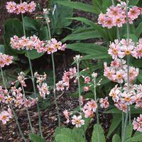 Primula pulverulenta 'bartley's strain'-  apparently tolerates drier soil