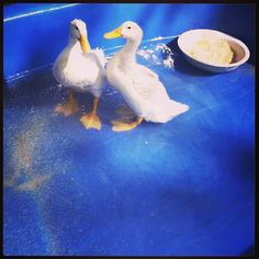 Ducks :) Ducks, Friends, Amigos, Boyfriends