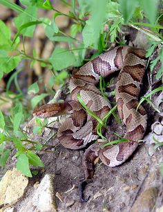 Down Copperhead Road......gorgeous copperhead snake...although venemous is not considered deadly. Almost all snakes in the US that are venemous have cat-slit eyes...the exceptions are Corals and Ringnecks