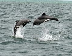 Catamaran Charters: Heavyside Dolphins jumping