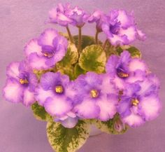 Robs Kitten Caboodle - The Violet Barn - African Violets and More