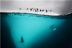 Diving Penguins, Antarctica, 2011 David Doubilet