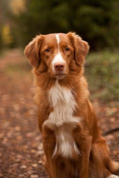 Image result for nova scotia duck tolling retriever