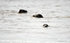 Harbour seals rest on the rocks at the seaside in Panjin, Liaoning Province, April 1, 2015