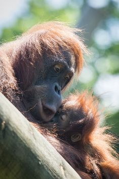 Sumatran Orangutan @ Durrell Wildlife Conservation Trust