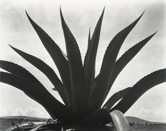 Edward Weston, Maguey Cactus, Mexico, 1926. Gelatin silver print.