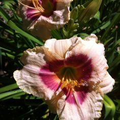 Daylilies late June 2012
