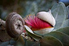 Eucalyptus rhodantha var.