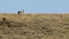 mis fotos de aves: Rhea pennata Choique Lesser rhea