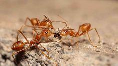 Zvolte na mravence vždy raději ekologicky šetrný způsob odstraňování. Get Rid Of Spiders, Get Rid Of Ants, Shiga, Nagoya, Keep Mice Away, Lawn Problems, German Cockroach, Peppermint Plants, Snacks