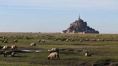 Le Mont-Saint-Michel (Normandie) et les moutons des prés salés