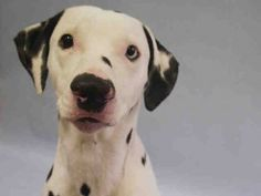 ♡ MY LIFE MATTERS ♡ PONGO – A1059744 MALE, WHITE / BLACK, DALMATIAN MIX, 3 yr STRAY – EVALUATE, HOLD FOR ID Reason STRAY Intake condition UNSPECIFIE Intake Date 12/05/2015, From NY 11103, DueOut Date12/08/2015,