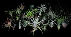 Airplant/Tillandsia-25 Different-E Z 2Grow Deluxe Collection#1-FREE SHIPPING!!!  $3 each