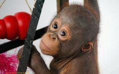 Budi gets more adventurous | International Animal Rescue