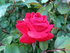 The Knock Out® rose bush is one of the most popular roses in North America. Look at how to care for knockout roses in this article. Soon they will be just as popular in your garden.