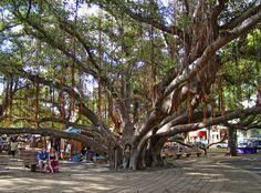 Banyon Tree by Lahaina Courthouse | The massive banyon tree … | Flickr