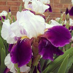 Happy May #iris