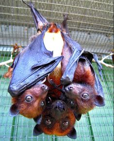 Rare Variable Flying Fox pup twins with mom. Photo credit: S. Mulder, Lubee Bat Conservancy   #hiphop #beats updated daily => http://www.beatzbylekz.ca
