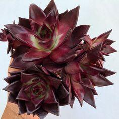Image of Agavoides Red Ebony Cactus Planta, Echeveria, Succulents, Red, Image, Plants, Succulent Plants