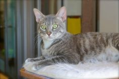 Tabby Cats Grey pete a young grey tabby cat for adoption from paws of coronado Grey Tabby Cats, Siamese Cats, Cat Entertainment, Cat Key, Cat Insurance, Boy Cat, Cat Climbing, Maine Coon Cats, Cute Animal Pictures