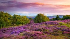 Purple and pink heather on heathland near Studland, Dorset, England (© allou/iStock/Getty Images Plus) Heathers Wallpaper, Wild Bees, Wallpaper Downloads, Ecology, How To Look Pretty, Background Images, Flower Power, Bing Images, Places To Go