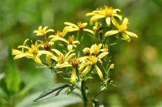 Starček Fuchsův nebo vejčitý, lidově kycol či machlín je léčivá bylina našich hor. Léčí výhradně zevně na rány, klouby a svaly. Recept na domácí mast z kycolu