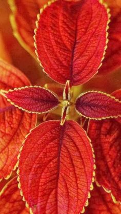 Autumn Beautiful - Coleus is an Annual flowering plants that is grown for its variety of color. They can be grown outdoors or indoors in bright indirect light.