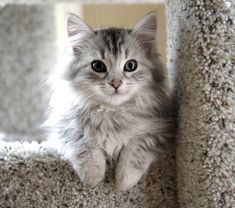 Siberian Cat Breed Information and Photos
