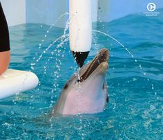 Hope the Dolphin is Winter's companion at Clearwater Marine Aquarium. Both share similar rescue stories and starred in Dolphin Tale Visit Hope today! Dolphin Tale 2, Funny Dolphin, Sea Dolphin, Bottlenose Dolphin, Happy Animals, Funny Animals, White Humpback Whale, Dolphin Trainer, Clearwater Marine Aquarium