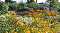 Dream Garden: Papoula da Califórnia