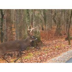 Buck in Cades Cove. #Smoky #Mountains