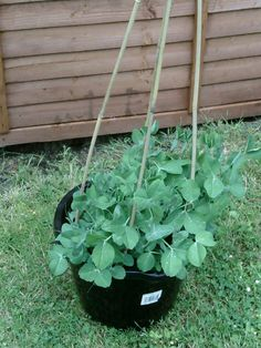 How to Grow Peas in a Pot