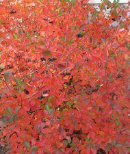Aronia x prunifolia - koristearonia