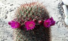 Mammillaria spinosissima / Cactus sin fronteras / Manuel Licona