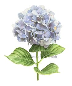 Watercolor hydrangea by elizabeth smith of www.rowntreestudio.com