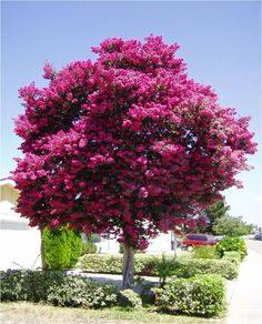 Lagerstroemia-Indica-Crepe-Myrtle::: I hope mine gets that big and beautiful!!!!