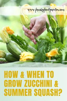 Check out these tips on how and when to grow zucchini and summer squash. It�s one of those great crops that you can harvest from every day or two. See more details on this pin! #gardening #gardeningtips #summersquash #zucchini Container Gardening, Gardening Tips, Indoor Gardening, Flower Gardening, Vegetable Gardening, Garden Shed Diy, Garden Ideas, Garden Inspiration, Growing Zucchini