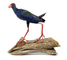 Purple Swamphen taxidermy