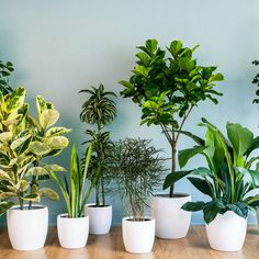 The jungle queen Spathiphyllum 'Sensation'  Foliage: Lush 2-foot-long leaves of deep green are dramatic all year; luxuriant white flowers in spring.  Plant: A peace lily, it can reach 4 feet tall.  Light: Low to medium.