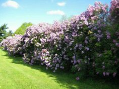 Hedging made from lilacs