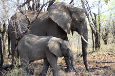 Elephant Mom & Baby - South Africa