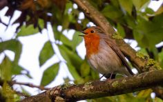 Rouge gorge by phmauger #animals #animal #pet #pets #animales #animallovers #photooftheday #amazing #picoftheday