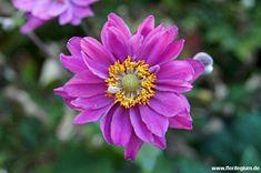 #Japan-Anemone, #Herbstanemone, #Anemone japonica http://www.florilegium.de/blog/pflanzen/blumen-im-garten/die-japan-anemone-anemone-japonica-oder-auch-herbstanemone.html