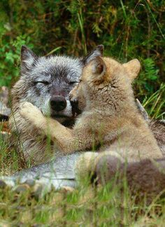 Gray Wolves ~ ranchers and corporate interests are hell on wolf populations. They trap them bait them shoot them, nothing is off limits. Please live vegan because it is the demand for flesh and the greed for grazing and profit that hurts wildlife and wild horses.