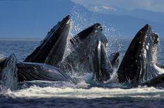 Dan Evans - Humpback whales feeding in Sitka, Alaska