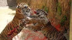 4 CRAZIEST Animal Fights Caught On Camera - Tiger,Lion,Rhino,Wildebeest