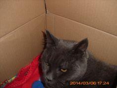 Babuschka (Buschki) Katze | Pawshake Laatzen
